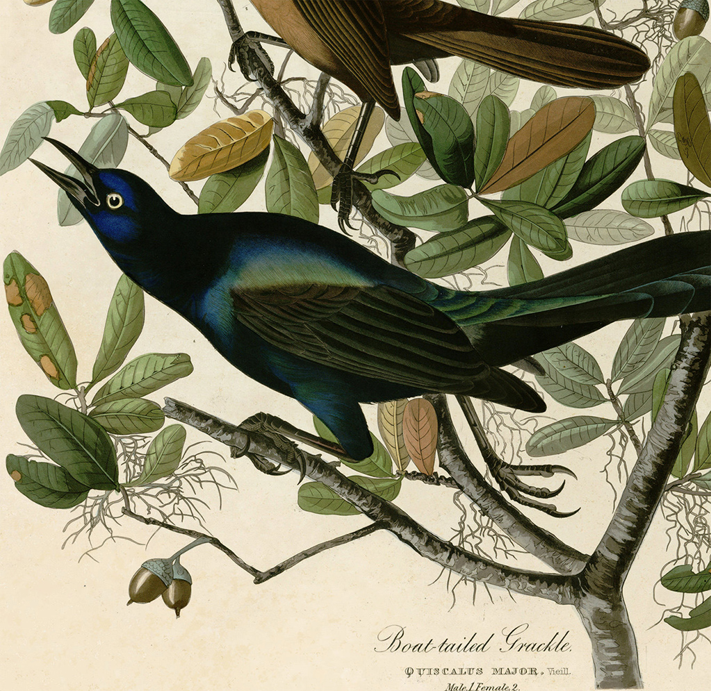 Grackle_cover