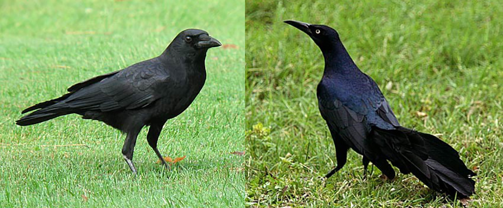 Crow on the left, grackle on the right